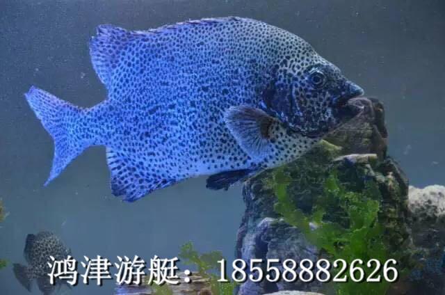 斑石鲷,也称黑金鼓